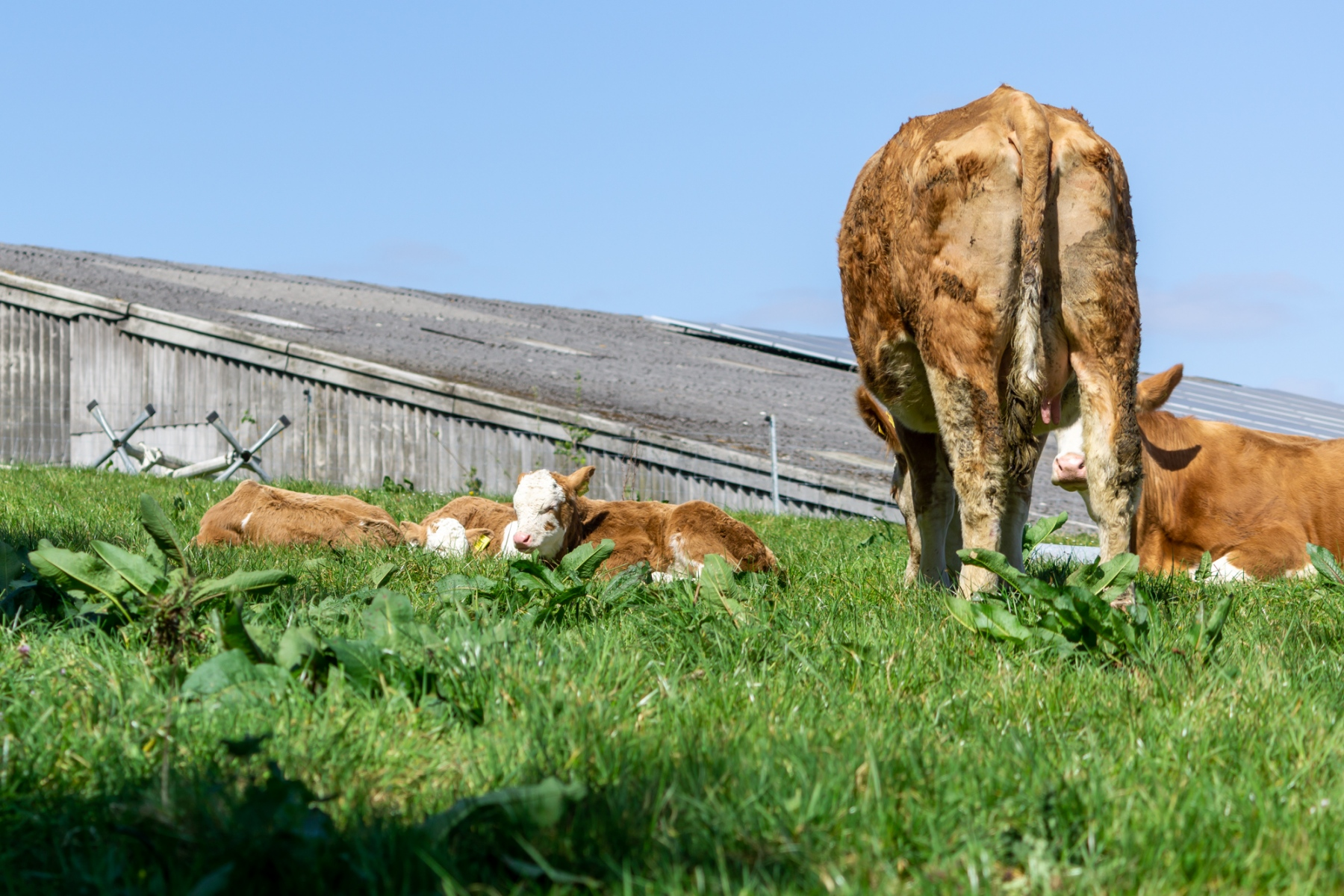 Several brown and white calfs lay on green grass. Two adult cows stand nearby. A farm building can be seen behind.