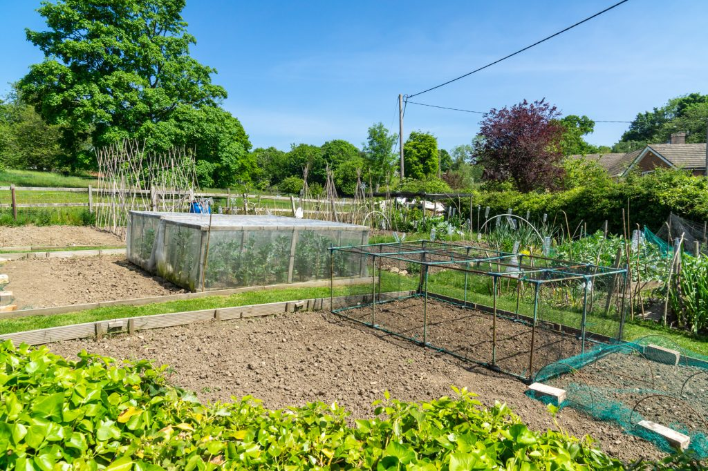 Several allotments with vegetables growing. Nets cover some plants and canes are visible for runner beans.