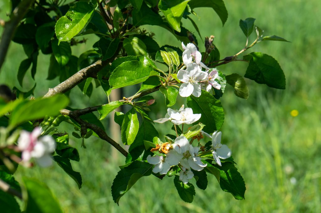 White blossom is shown on an apple tree.