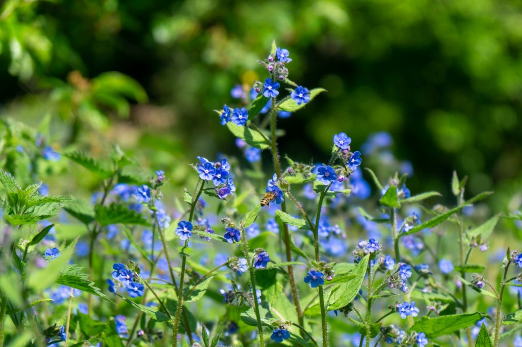 Some blue wild flowers sit amongst nettles. A honey bee can be seen on one of the flowers.